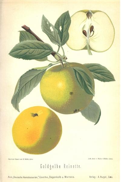 Sestermüher Zitronenapfel