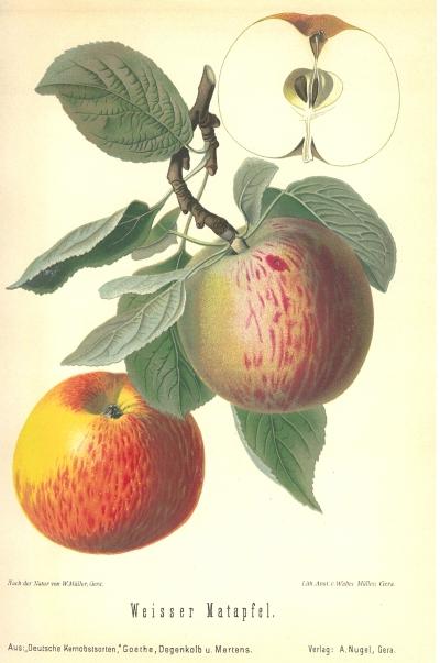 Weißer Matapfel